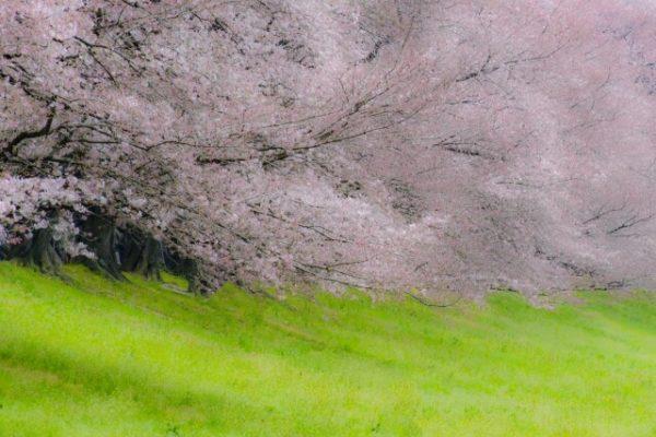 背割堤の桜の写真