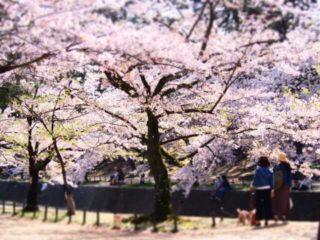 夙川公園の桜の並木道