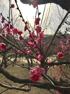 大阪城の梅の花