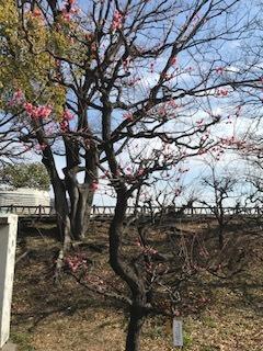 寒紅の梅の木