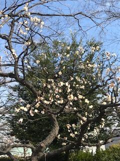 八重野梅の木