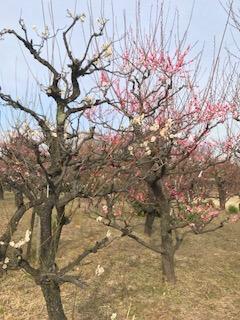 森ノ宮側の梅の木