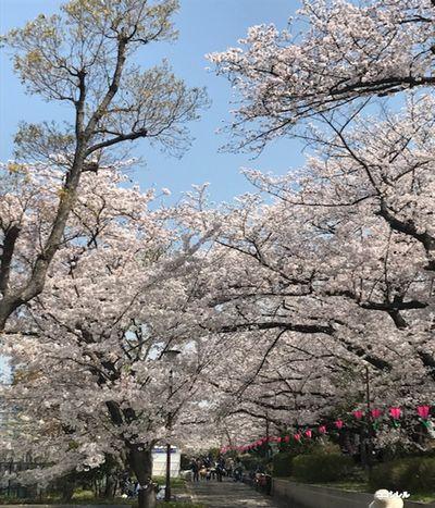 柴島浄水場の桜並木の通り抜け 桜のトンネル