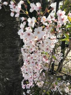 柴島浄水場の桜並木の通り抜けの桜up画像