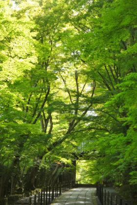 京都光明寺の新緑