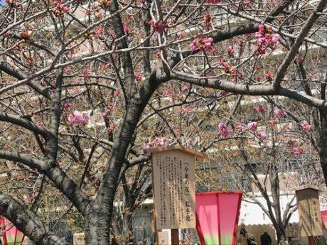造幣局桜今年の桜