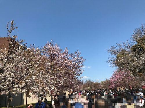 造幣局の桜は咲いてる
