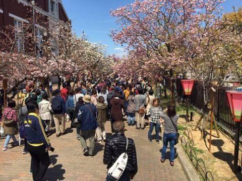 桜の通り抜けの現在の様子